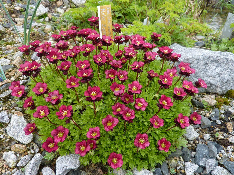 Roter Mauerpfeffer hobbysteingarten de alles rund um mein hobby alpinum und sempervivum
